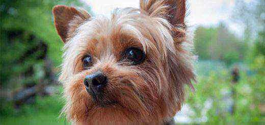 breeds of Terrier