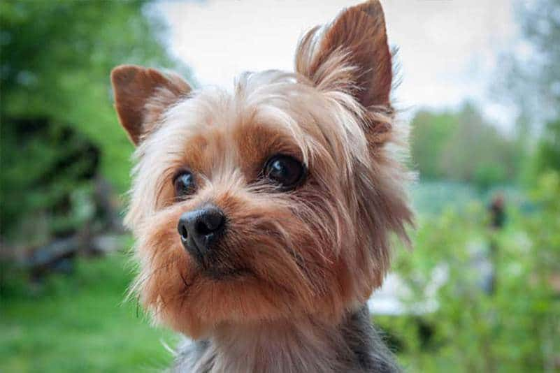 Types Of Terrier Dog Breeds