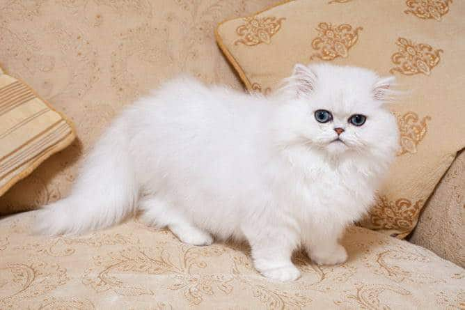 The most beautiful Cat Breeds – Which One Is Your Favor ?