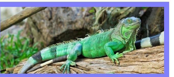 daily Iguana Feeding