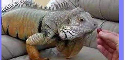 iguana diseases