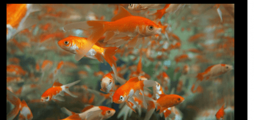 Simple Methods For Goldfish Care