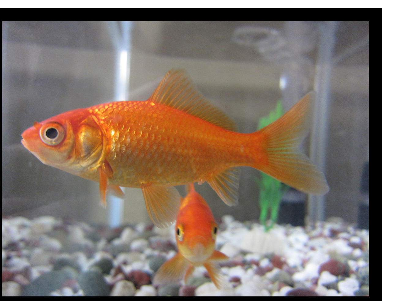 How do you take care of goldfish in a tank?