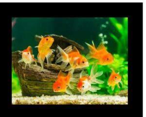 goldfish eat