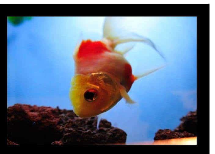 How do I keep my goldfish healthy?
