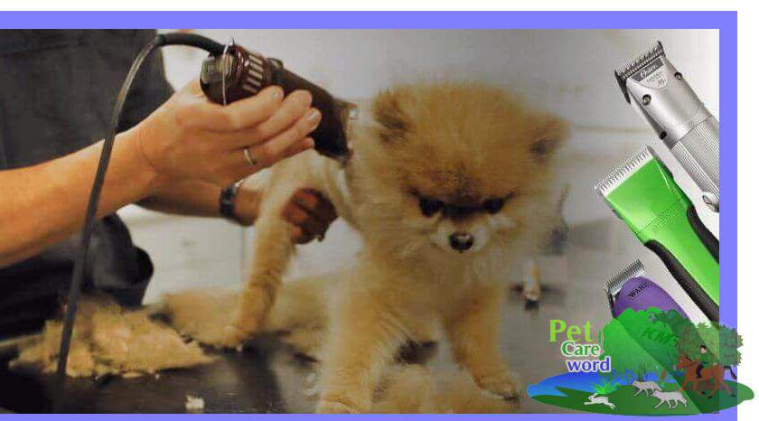How to buy a Best Pomeranian Puppy