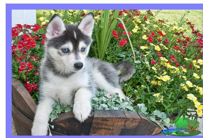What to Expect from your Pomsky Puppy