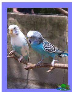parakeet lifespan