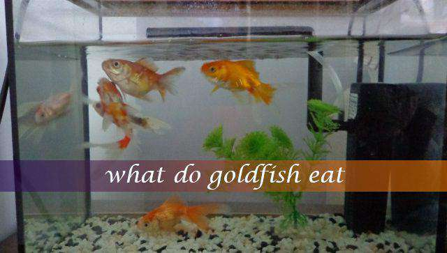 What do goldfish eat?