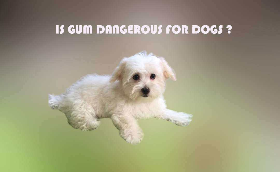 Is gum dangerous for dogs?