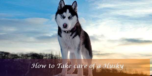 How To Take Care Of A Husky