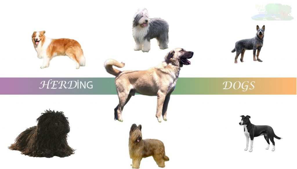 Types Of Herding Dog Breeds