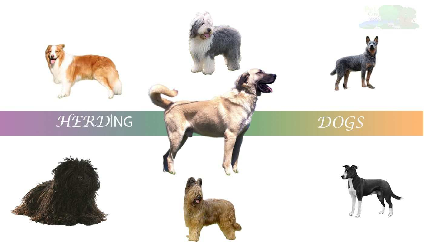 Types Of Herding Dog Breeds And Specialists