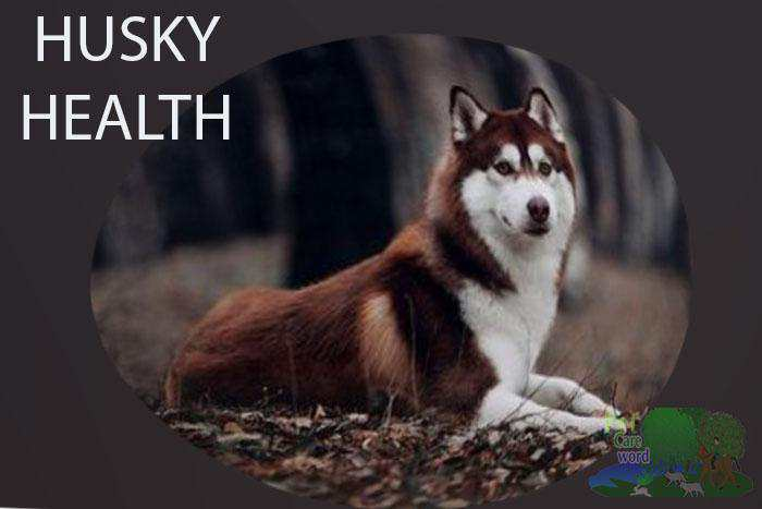 Siberian Husky health problems and care