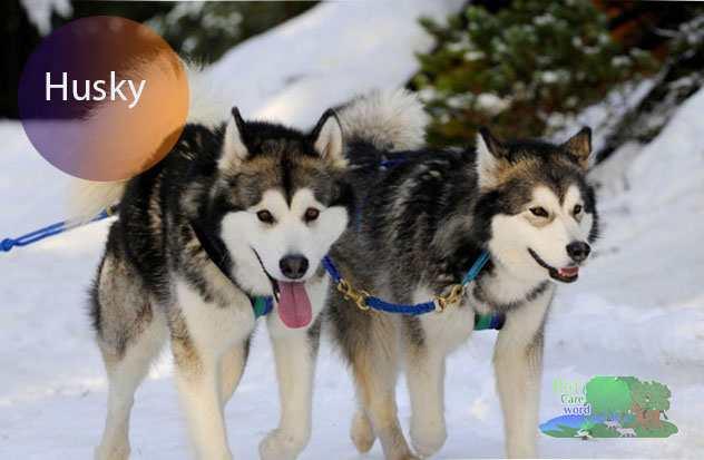 Husky lifespan – How long do huskies live?
