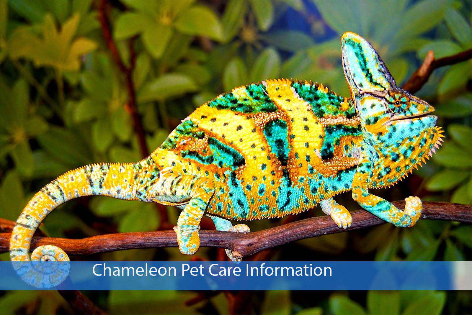 Chameleon Pet Care Information