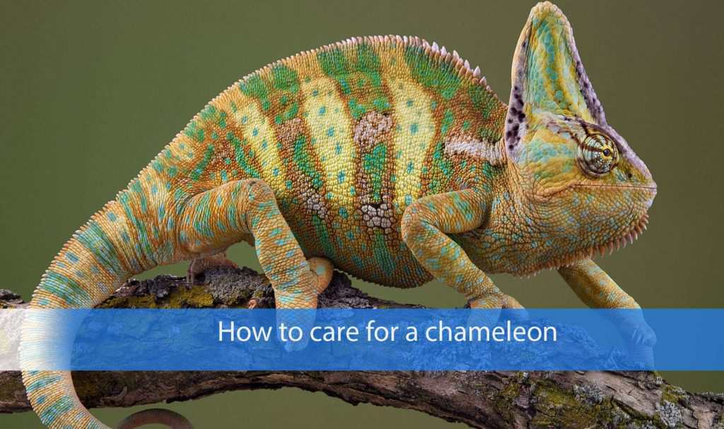 How to care for a chameleon
