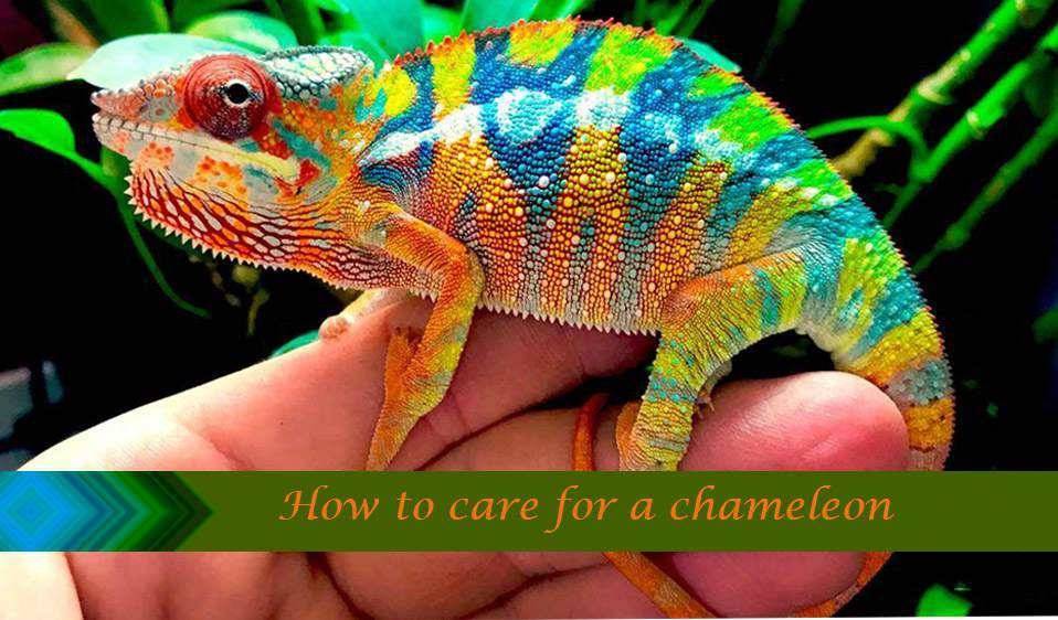 How to Care for Veiled Chameleon?