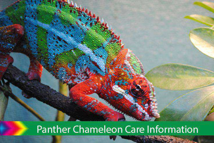 Panther Chameleon Care Information