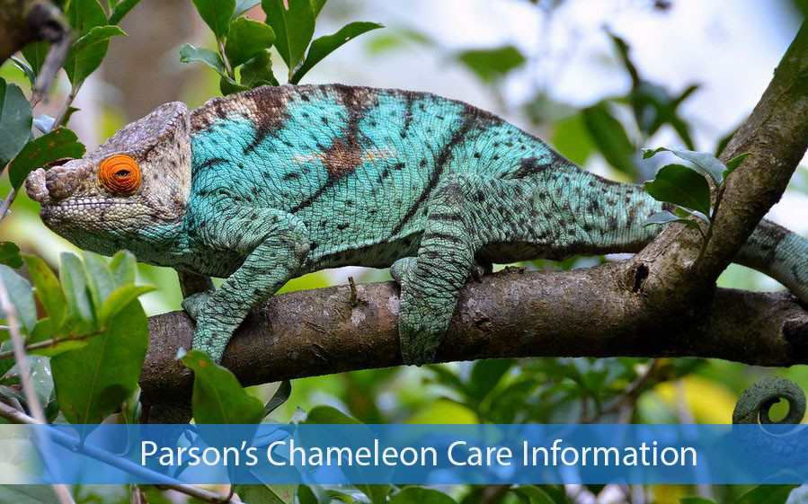 Parson's Chameleon Care Information