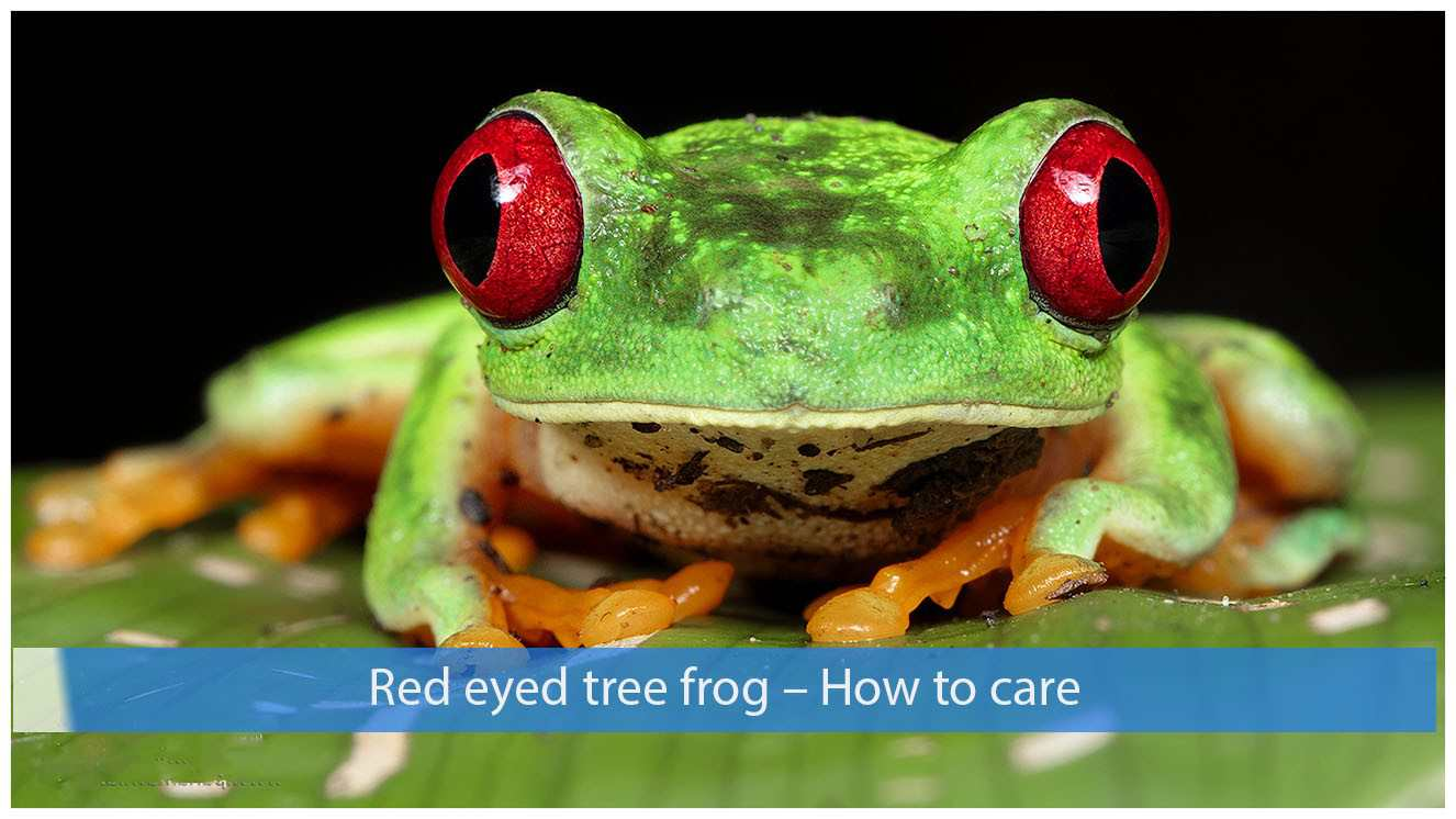 Red eyed tree frog – How to care ?