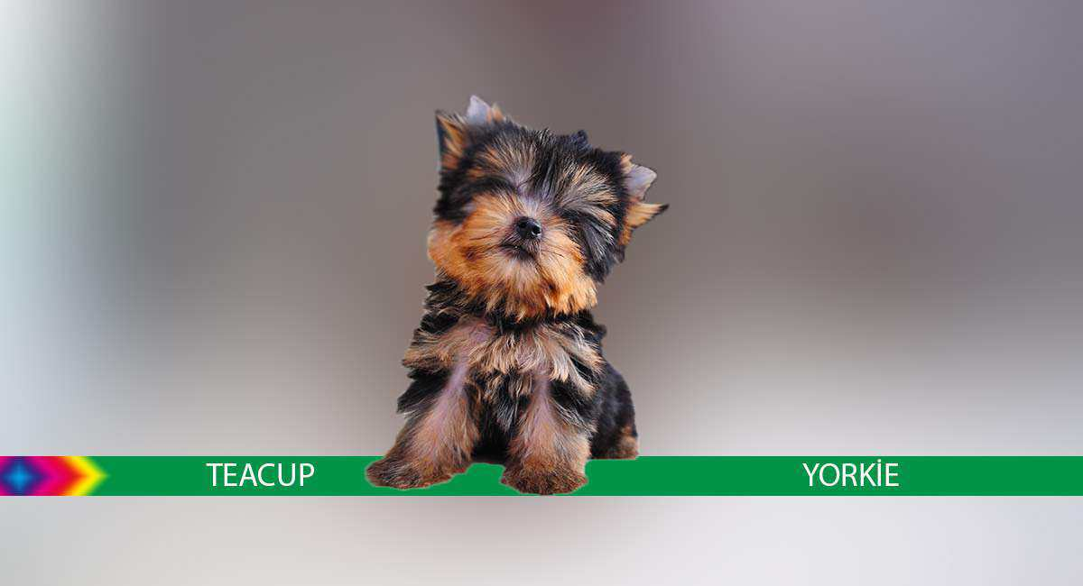 Teacup Yorkie Info, Breed, Facts and Images