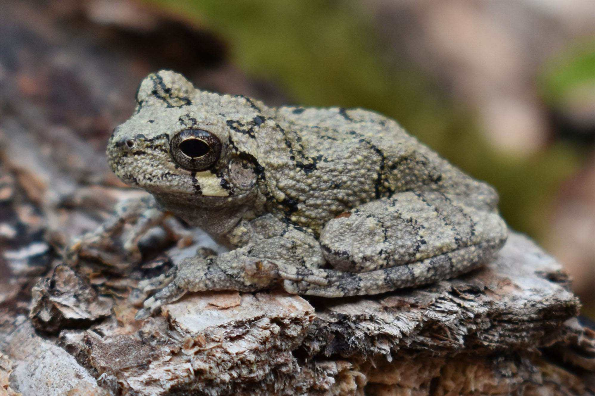 Gray Tree Frog And Cope's Gray Tree Frog Informations