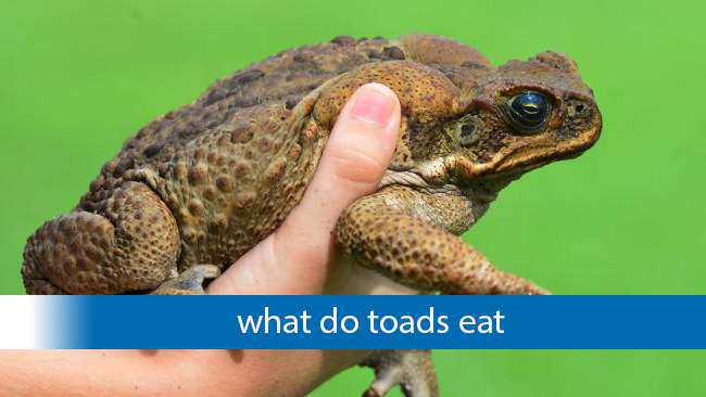 What do toads eat and Where do they live ?