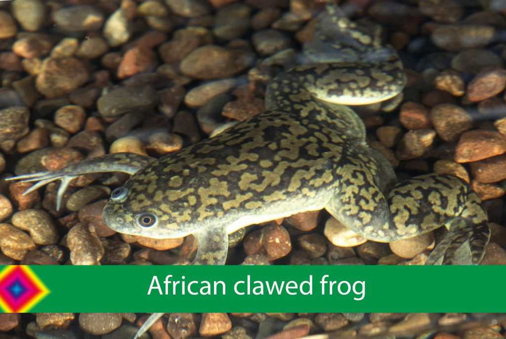 africa clawed frog care