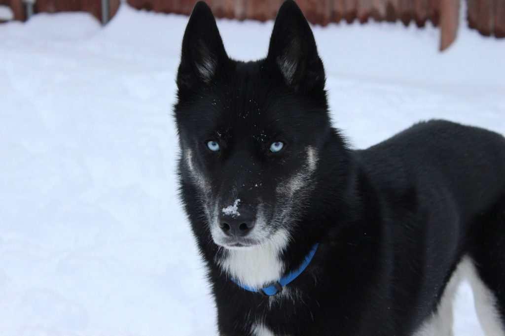 Types Of Husky Breeds