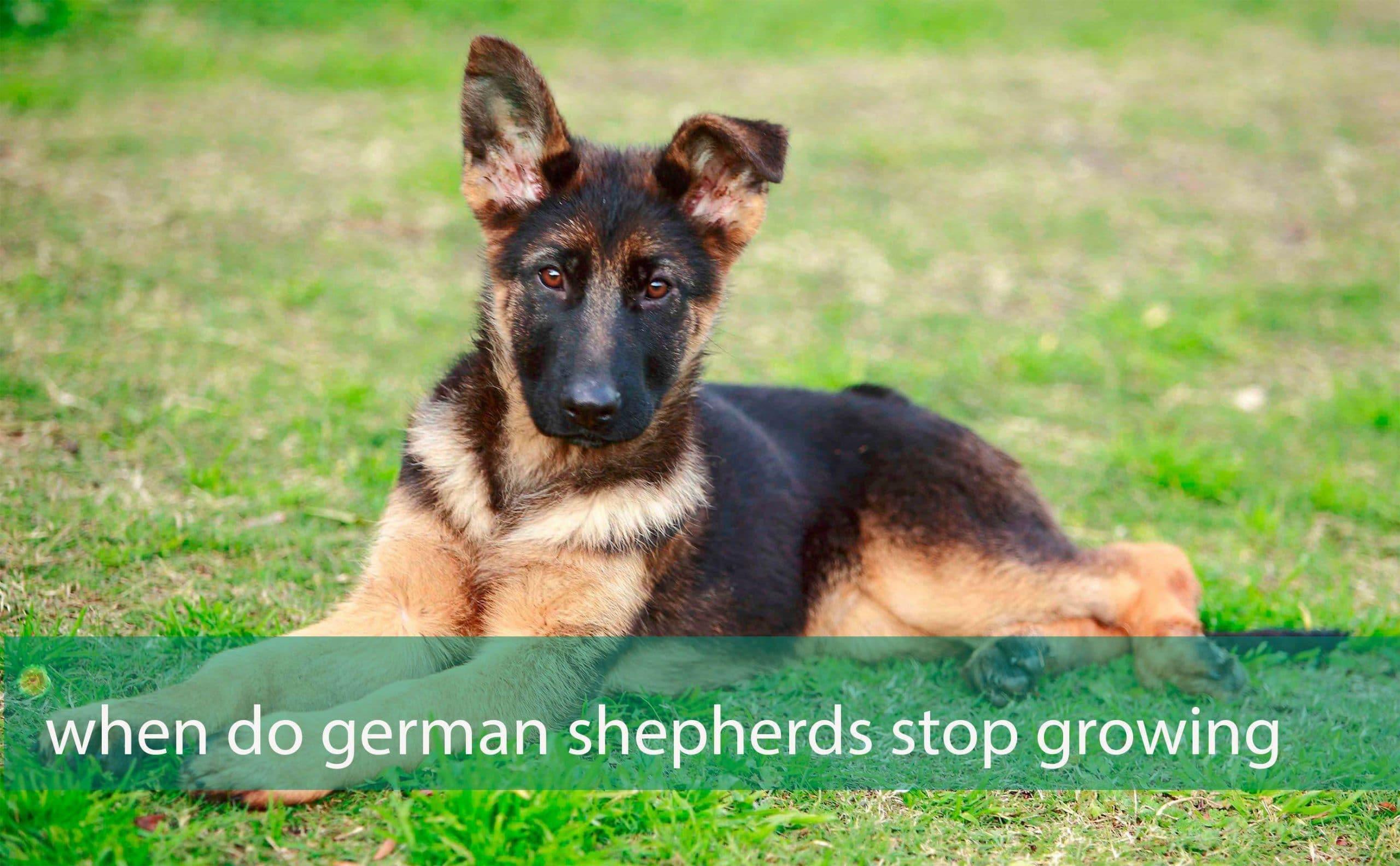 When do german shepherds stop growing?