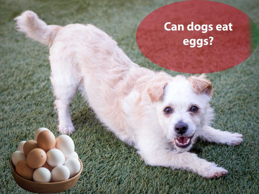 Can dogs have eggs?