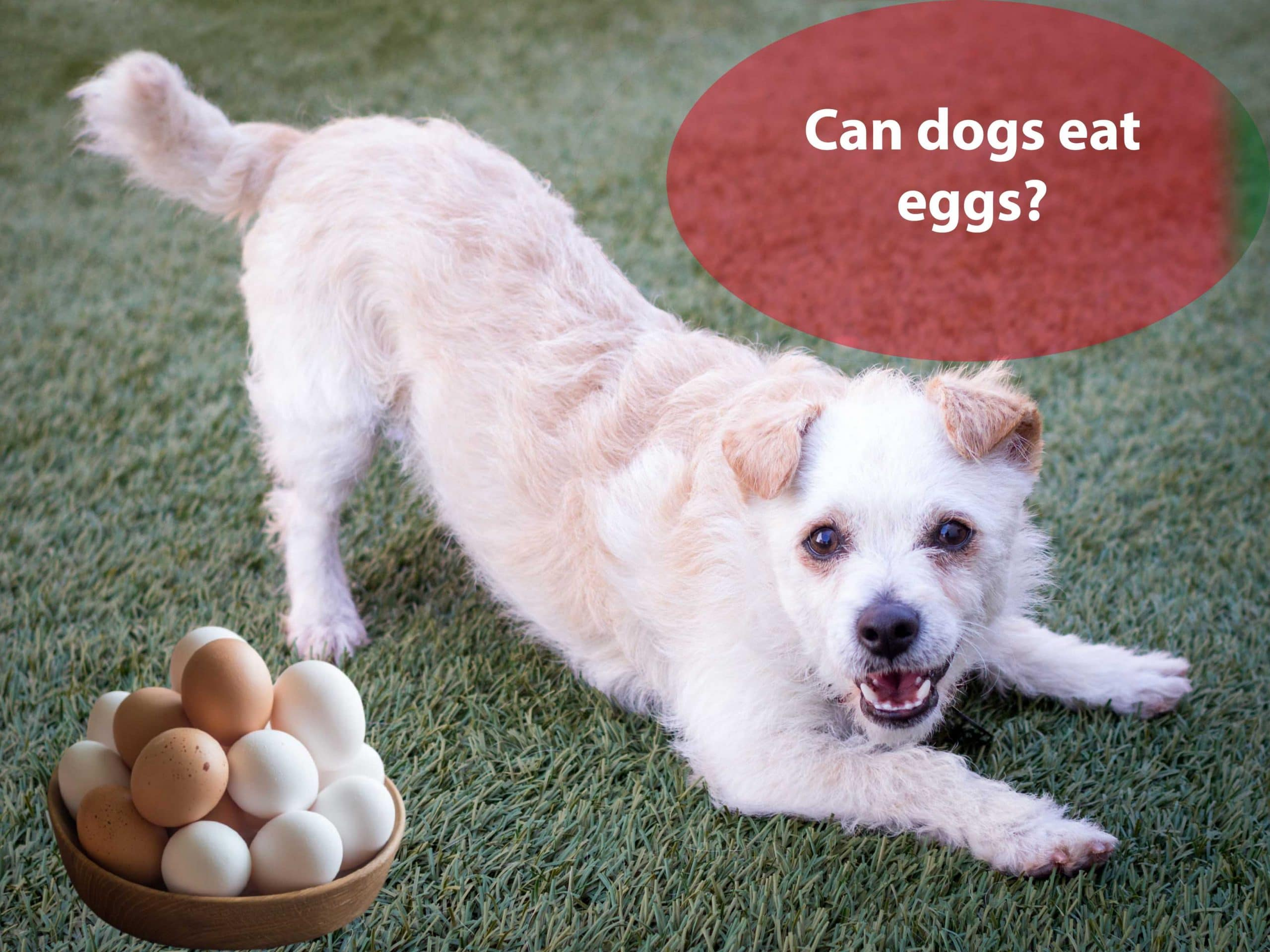 Can dogs have eggs? Are raw eggs good for dogs?