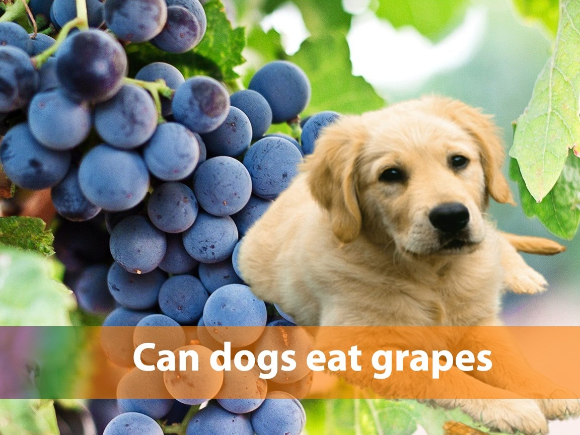 Can dogs eat grapes? What happens if my dog eats a grape?