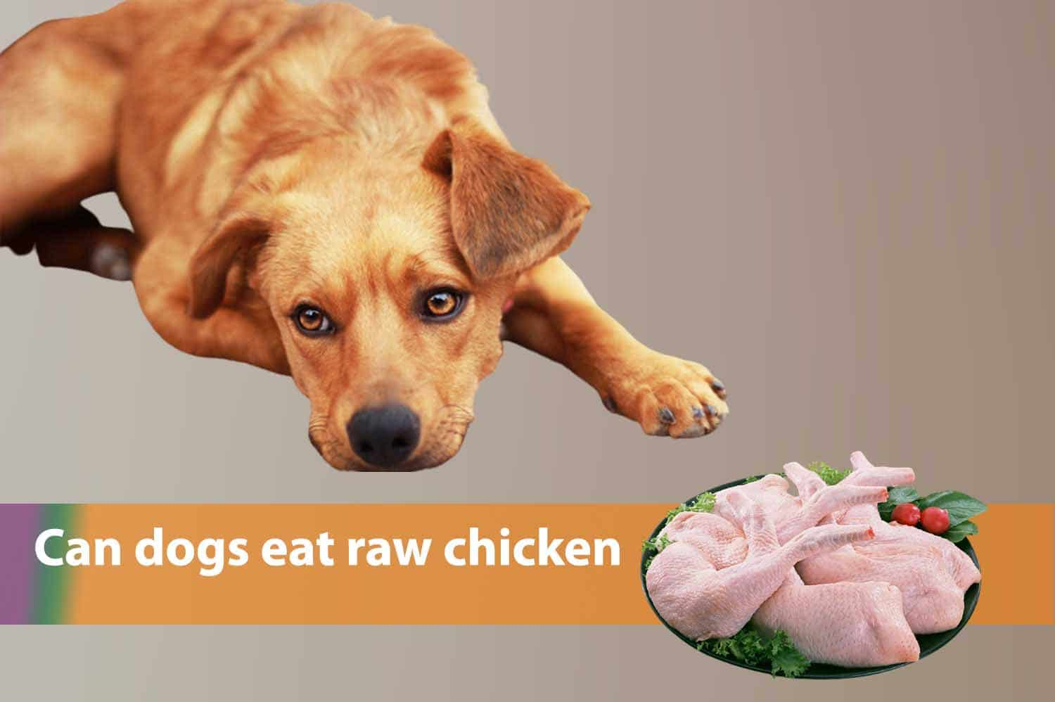 Can dogs eat raw chicken? Let's click for answers