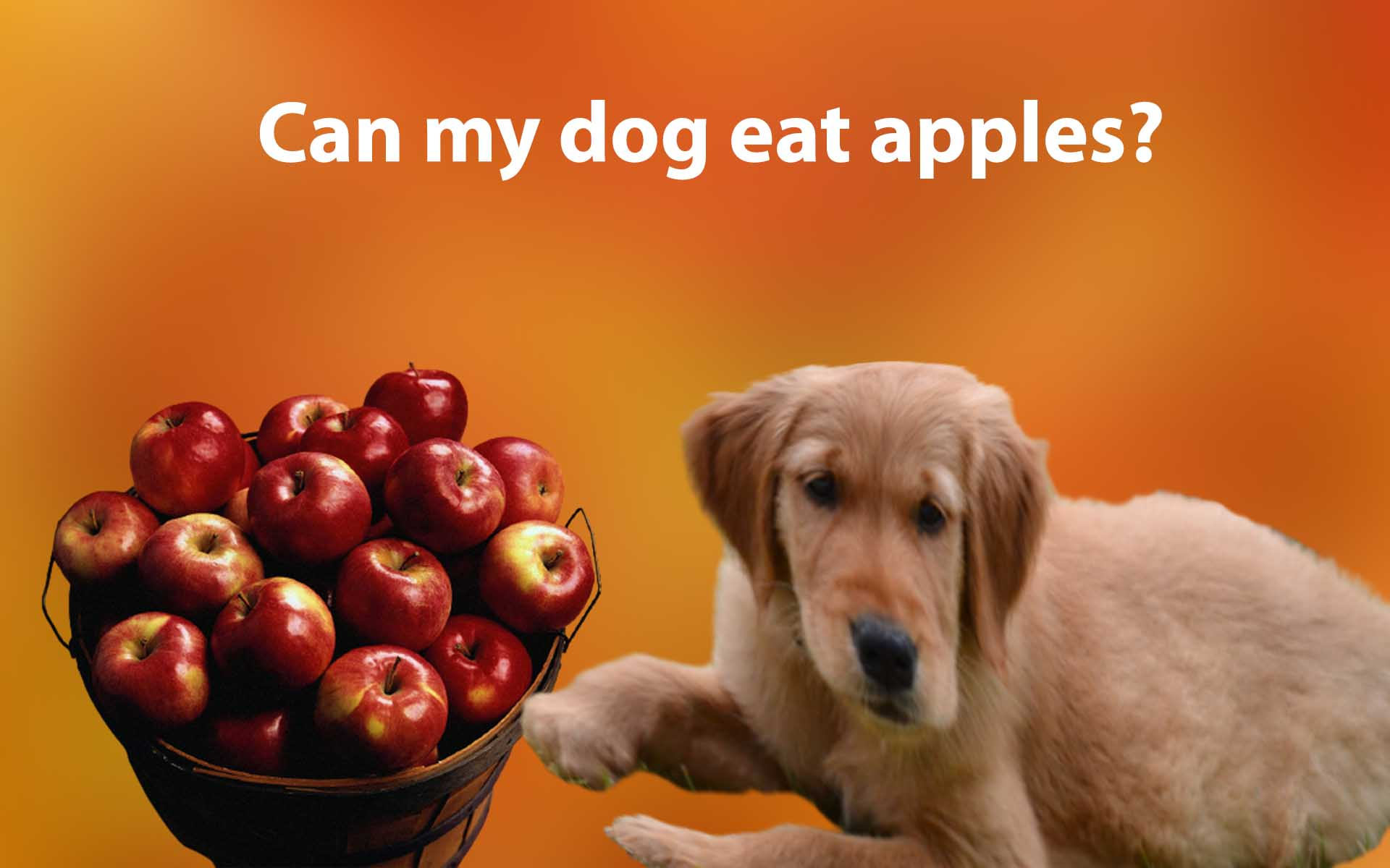 Can my dog eat apples? Is it safe for dogs to eat apples?