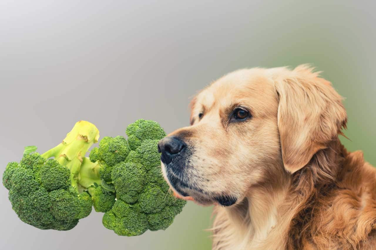 Can my dog eat broccoli? Is it safe?